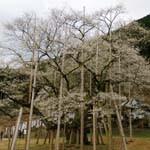 日本五大桜の「淡墨桜」は歴史を感じる貫禄ある美しい桜だった