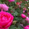 えこりん村のバラ祭りで美しい北海道のバラを満喫