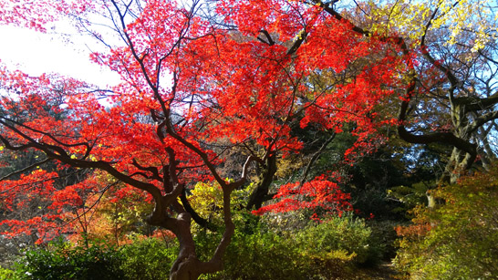 六義園の紅葉2