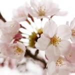 滋賀随一の桜の名所「海津大崎の桜」で混雑を避ける為のポイントやおすすめルート