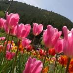 2万本のチューリップが壮観「上丹生チューリップ祭り」ステージもあるよ【滋賀県米原市】
