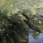 規模は日本一!醒井養鱒場は餌やりや鱒釣りが楽しい穴場的観光スポット【滋賀県米原市】