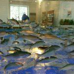 北海道千歳市に入場無料の水族館?さけます情報館が意外に面白かった