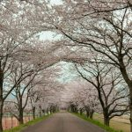 滋賀で穴場の桜お花見スポットなら長浜市の高時川堤防の桜がおすすめです