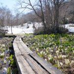 長野県斑尾高原の水芭蕉が咲く沼の原湿原で5月のトレッキング