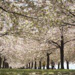 長野で5月上旬でも桜の花見ができる小布施町の千曲川堤防の桜堤