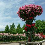 彦根にもバラ園がある!入園無料の滋賀県彦根市にある庄堺公園