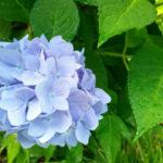 長浜市の紫陽花が1万本群生する鑑賞スポット「余呉湖あじさい園」