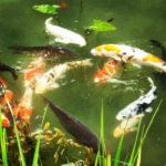 神秘的で青く美しい岐阜県関市の「モネの池」に行ってみた。最善の見頃は6月