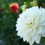 滋賀県で秋のお花見なら日野町にある「日野ダリア園」で1万2千本のダリアを鑑賞しよう